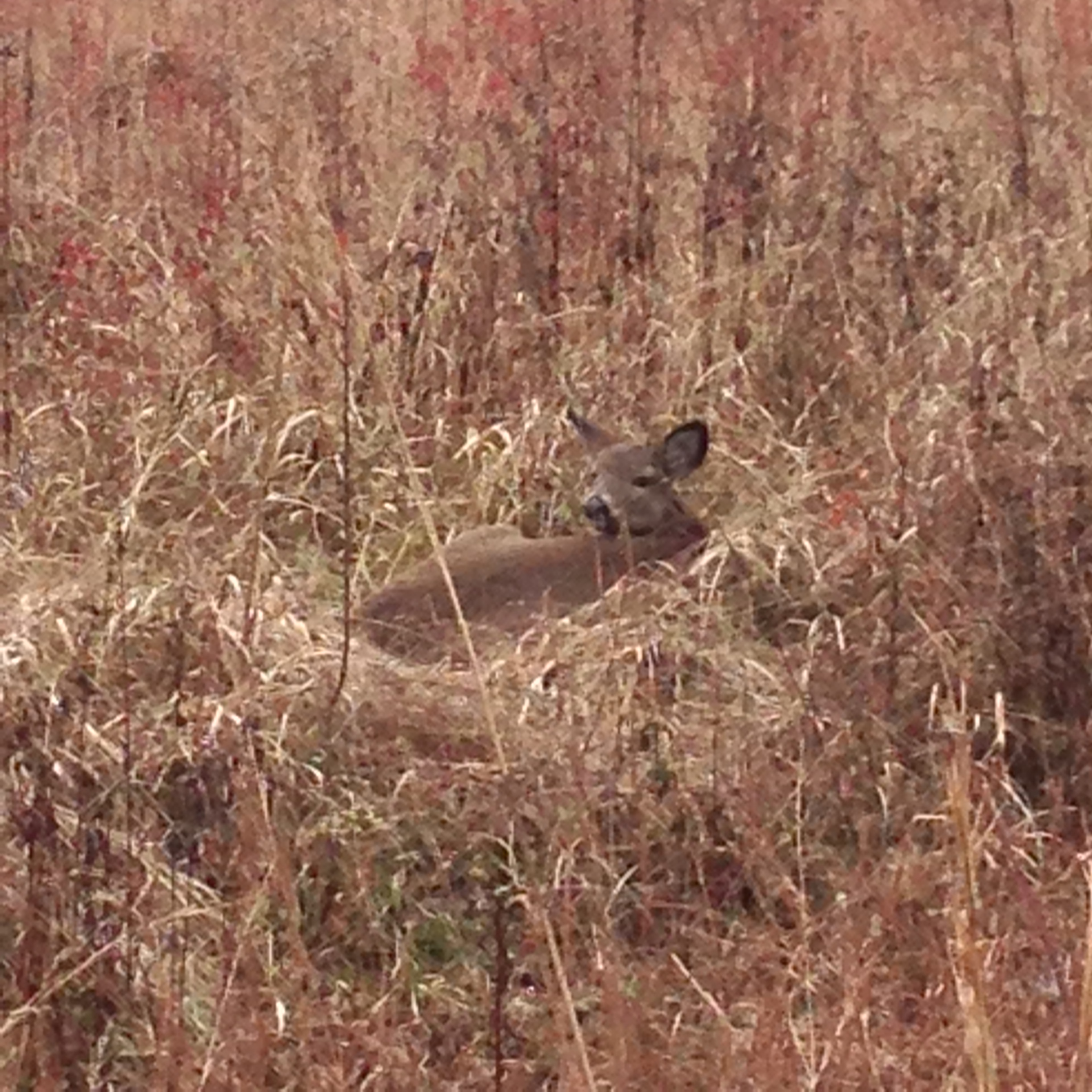 Resting White Tailed Deer